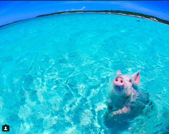 Discover Pig Beach, BAHAMAS – Where Pigs Rule (and Swim